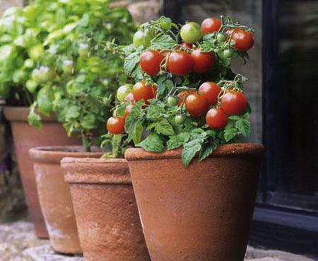 Pomidorų sėklos